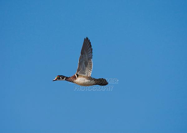 Wood Duck (Aix sponsa), male in flight, Sinton, Corpus Christi, Coastal Bend, Texas, USA