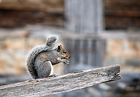 A cute gray squirrel balancing on a wooden fence plank with acorn in her mouth at smoky mountain national park visitor center- Free nature stock photo