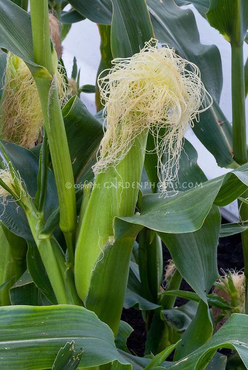 Corn Zea mays growing with cornsilk showing on cob, ears of corn