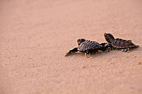 Hawksbill turtle, Eretmochelys imbricata, hatchlings making their way to the sea for the first time on Dimakya Island, Palawan, Philippines