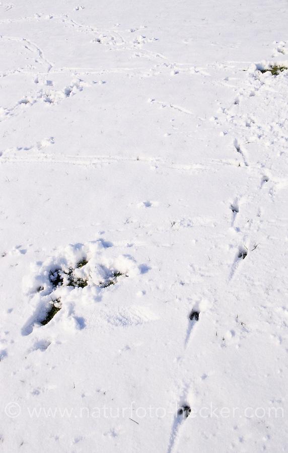 Reh, Reh-Wild, Spuren der Nahrungssuche im Schnee, Reh hat Schnee weggescharrt um an Grünes zu kommen, Äsungsstelle, Äsungsplatz auf einer Wiese, Capreolus capreolus, roe deer
