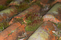 Purpurstieliges Hornzahnmoos, Gemeines Hornzahnmoos, Purpurrotes Hornzahnmoos, Horn-Zahnmoos, Purpurmoos, Purpurstielzchen, Moospolster auf Ziegeldach, Ceratodon purpureus, ceratodon moss, Redshank, Redshank Moss, fire moss, purple horn toothed moss