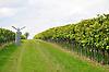 Weinberg im Herbst mit Schreckschussautomat zur Weinbergshut