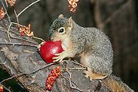 Eastern Fox Squirrel with apple-Bittersweet Twines/ tree