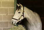 10 April 2010.   Stardom Bound, 2008 champion 2 year old, resting in her stall on the morning of the Bluegrass Stakes.   Entered in the Jenny Wiley, she scratched from the race and will instead run in an Allowance race on Sunday April 11th, 2010.