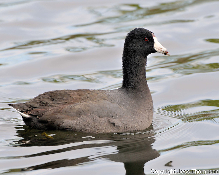 American Coot, Brazos Bend State Park, TX