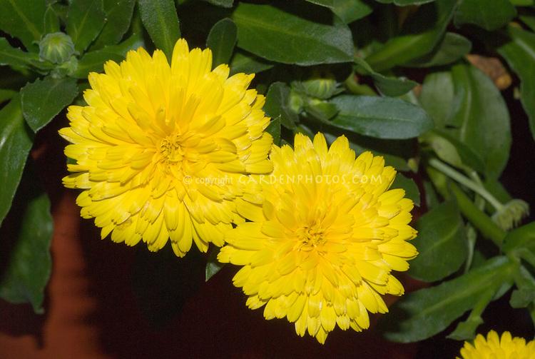 Calendula Powerdaisy Sunny, new double calendula annual flower in yellow, edible blooms