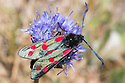 Six-spot Burnet {Zygaena filipendulae} feeding on Sheep's-bit {Jasione montana}, Devon, UK. June.