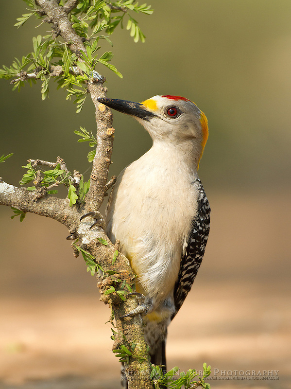 Golden-fronted Woodpecker, male