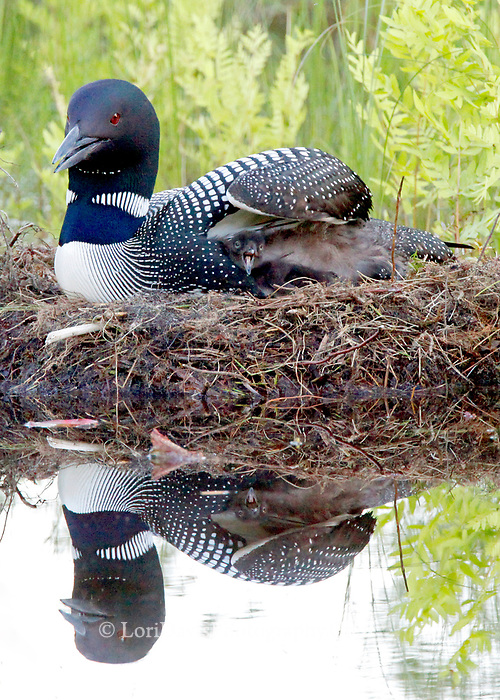 Hungry loon chick tucked under wing