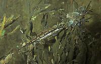 Seestichling, Männchen am Nest, See-Stichling, Meerstichling, Meer-Stichling, Spinachia spinachia, fifteen-spined stickleback