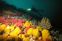 Scuba diver swims above a wall of Pink Soft Corals (Gersemia rubiformis) and Sponges in Browning Pass, Queen Charlotte Strait, British Columbia, Canada.
