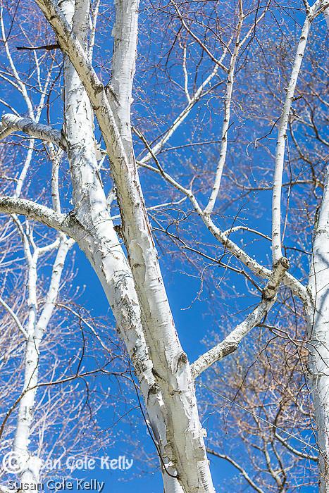 Paper birch in Cambridge, Massachusetts, USA