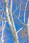 Paper birch in Cambridge, Massachusetts, USA