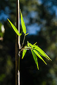 Leaves growing on a bamboo stem. Mata Atlantica forest.