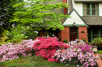 Azalea flowering shrubs bloom in Charlotte, NC. Azaleas, which are part of the rhododendron genus, are popular plants in North Carolina. Here several shades of pink and purple azaleas bloom in front of a home in Myers Park.