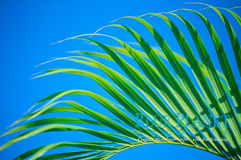 Coconut palm, Cocos nucifera, Bali island, Indonesia, Pacific Ocean