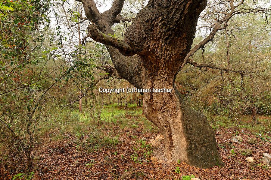 T-024 Mount Tabor Oak in Hurbat Abbas