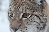 Luchs, Nordluchs, Nord-Luchs, Eurasischer Luchs, Portrait, Augen, im Winter im Schnee, Lynx lynx, Felis lynx, Lynx, Lynx d´Europe