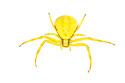 Goldenrod Crab Spider (Misumenia vatia) photographed on a white background in mobile field studio. Nordtirol, Austrian Alps, Austria, July.