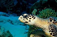 Hawksbill sea turtle, Eretmochelys imbricata, Netherland Antilles, Bonaire, Caribbean Sea, Atlantic