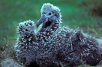 Laysan ablatross chicks, rare occurance to have two in same nest.