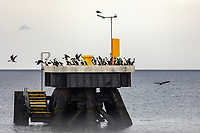 South America, Chile, Region de Magellanes y de la Antartica Chilena,Punta Arenas,  cormorans
