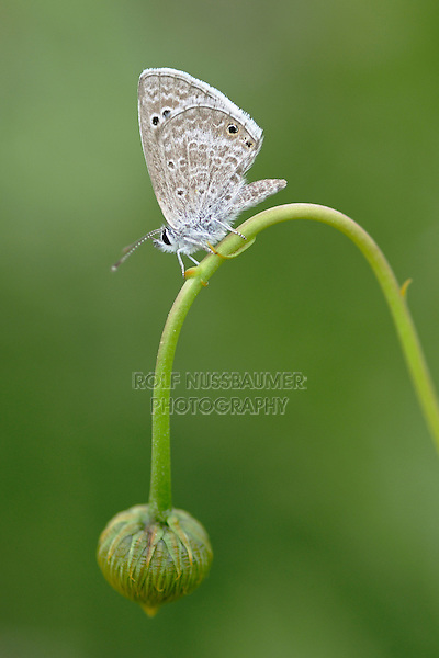 Reakirt's Blue (Hemiargus isola), adult perched, Laredo, Webb County, Texas, USA