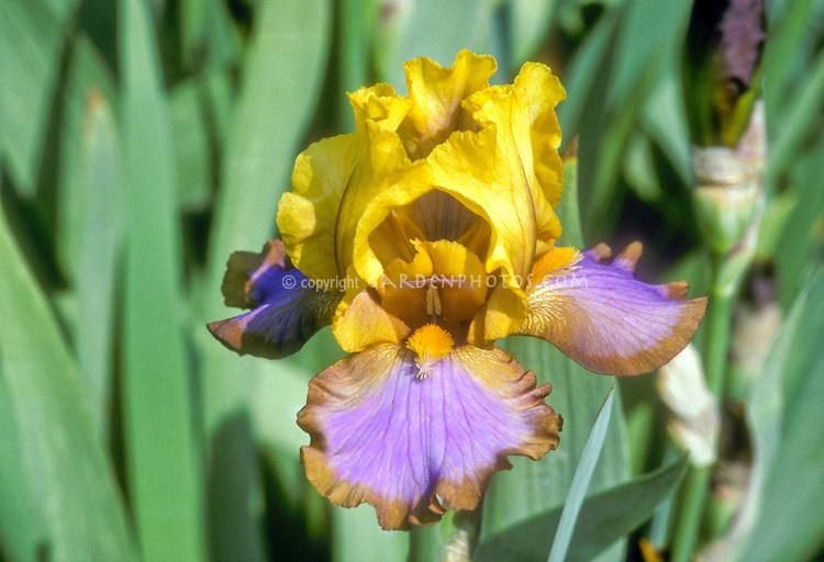 yellow, fuchsia, brown bearded iris Megabucks or similar