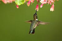 Black chinned humming bird