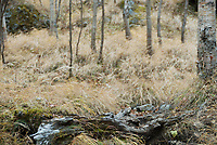 Bare birch trunks and faded autumn grasses on the lower slopes of the Yatsugatake Mountains, Nagano, Japan, October 25 2008