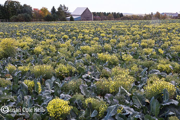 Broccoli field in Fort Fairfield, Maine, USA