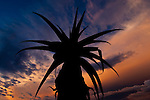 Aloe sp. silhouetted at sunset. Anjampolo Forest, southern Madagascar.