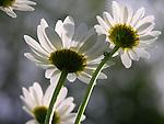 Daisies in the Garden, New England, USA