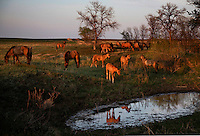 Curious foals are drawn to a waterhole in South Dakota causing a mirrored reflection. <br />
