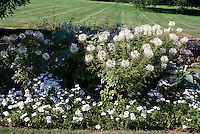 White flower border color theme: Cleome hassleriana 'Sparkler White' Verbena, Phlox, annual flowers