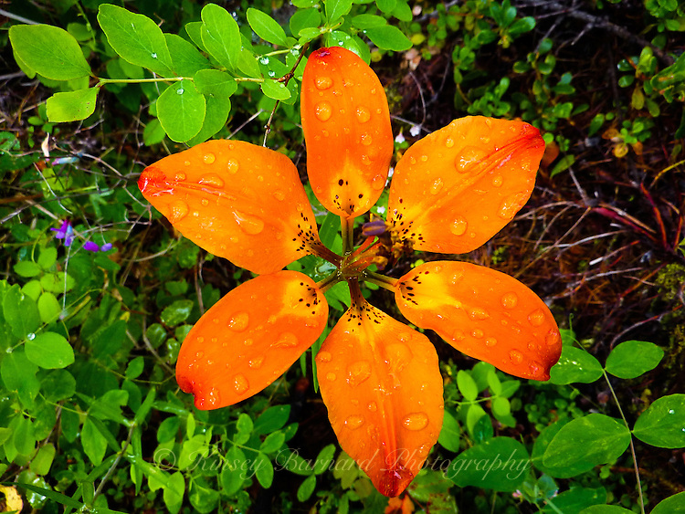 Wild wood lily with raindrops in the Kootenai National Forest.