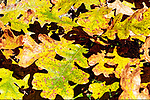 Gary Oak leaves. Fall color along trail through Theler Wetlands Nature Preserve, on Hood Canal, fiord, Washington, Belfair, Washington.  Trails, hiking, boardwalks and wildlife.