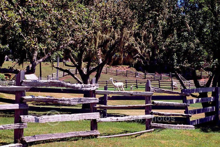Near Sointula, Malcolm Island, BC, British Columbia, Canada - Alpacas on Pasture behind Rail Fence