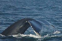Humpback Whale, Megaptera novaeangliae, Diving, Notice the entanglement scars and barnacles growing on its tail, named 'Owl', (do) Stellwagen Bank NMS, Gloucester, Massachusetts, Atlantic Ocean