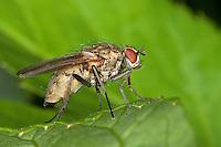Blumenfliege, Hydrophoria lancifer, Blumenfliegen, Anthomyiidae, anthomyids, flower flies