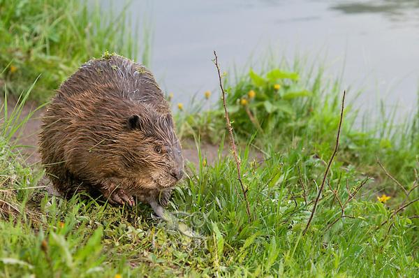 North American Beaver (Castor canadensis) along edge of lake.  Western U.S., June.