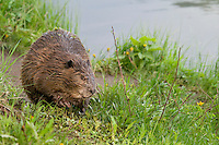 North American Beaver (Castor canadensis) along edge of lake.  Western U.S., June.