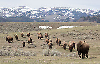 In recent years, more and more bison been roaming the northern range of Yellowstone.