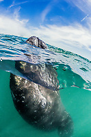 gray whale, Eschrichtius robustus, calf, San Ignacio Lagoon, Baja California Sur, Mexico, Gulf of California, Sea of Cortez, Pacific Ocean