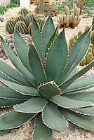 Succulent plant Agave titanota