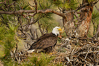 Bald Eagle Nest (Haliaeetus leucocephalus)--adult with two several week old eaglets in tall ponderosa pine tree.  Oregon.  May.