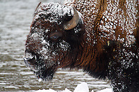 A BULL BISON IS COVERED WITH FRESH SNOW AT YELLOWSTONE NATIONAL PARK,WYOMING