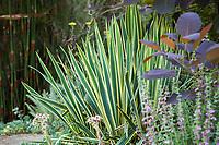 Yucca filamentosa (Adam's Needle, Spanish Bayonet) variegated foliage succulent in Shelagh Tucker garden, Seattle, Washington