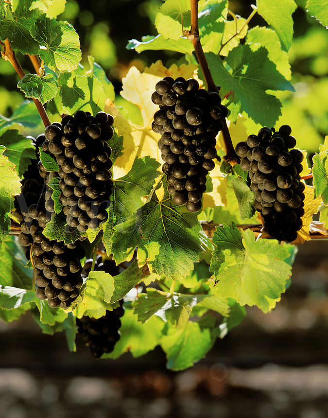 Clusters of PINOT NOIR WINE GRAPES ripen in the sun..
